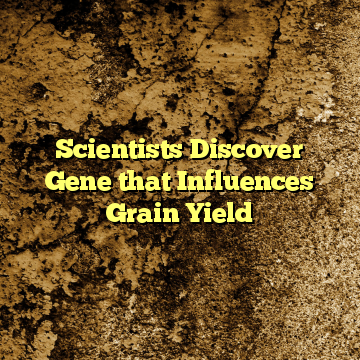 Scientists Discover Gene that Influences Grain Yield